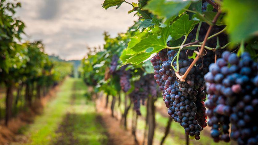 Cacho de Uvas numa Vinha